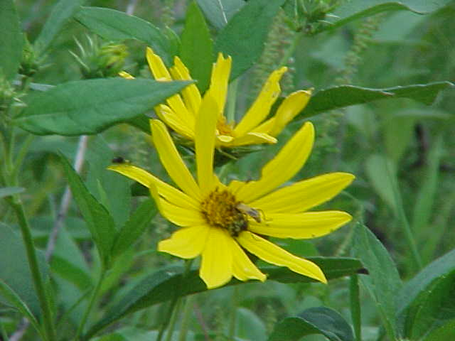 Yellow Wild Flower