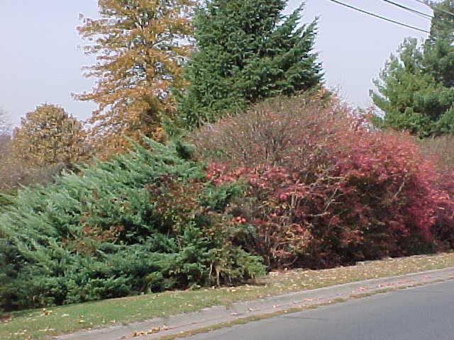 Red Bush with Evergreen Tree